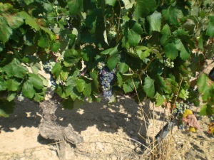 Cabernet Franc on a trellis