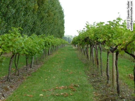 Vines at Plumpton, Sussex