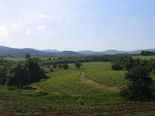 Tsantali's Naoussa vineyards.
