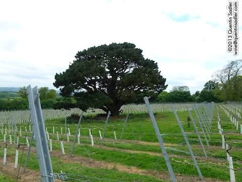 Stopham Vineyard - this lovely tree graces their label.
