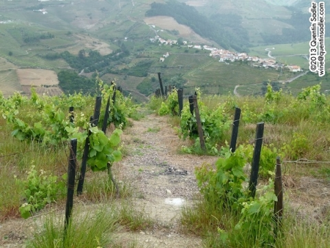 The 80-100 year old vines in their Ambonada vineyard. It was abandoned and has been brought back to productive life.