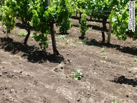 A close up of that fine volcanic soil - at Firriato this time.