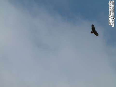 The best shot I got of that bird, anyone know what it is? It looks eagle-like to me.