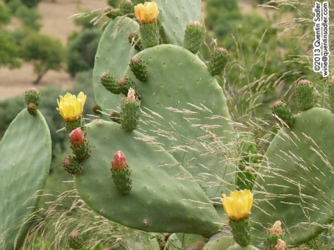 A prickly pear in flower.