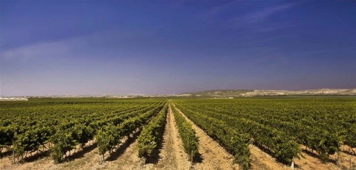 Vines in Ribera Baja.