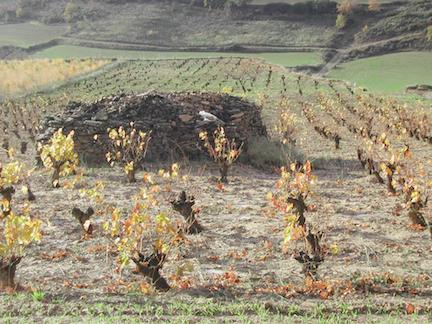 Old vines in Baja Montaña.
