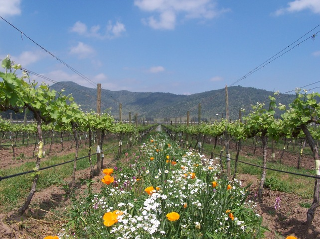 Emiliana's beautiful organic vineyards. Photo courtesy of Ste Michelle Wines.