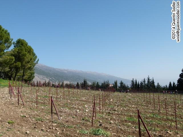 Vineyards being tended at Château Kefraya in the Bekaa Valley.