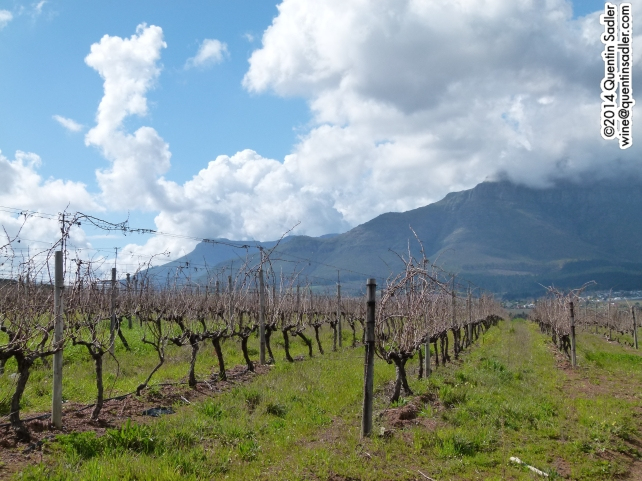 Beautiful vineyards at the Kleine Zalze Estate, South Africa.