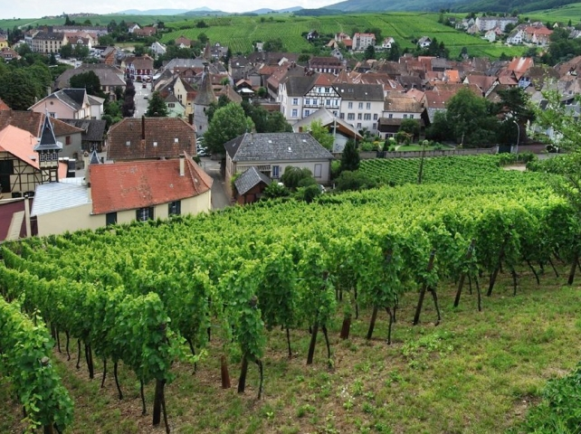 Trimbach vineyards in Ribeauvillé, courtesy of Maison Trimbach.