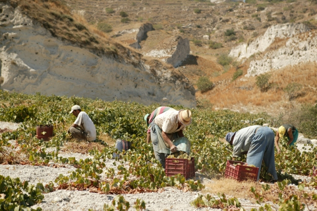 Harvest at Argyros - photo from the Argyros Estate.