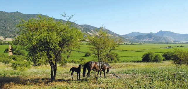 Wild horses at the Caliterra Estate - photo courtesy of Caliterra.