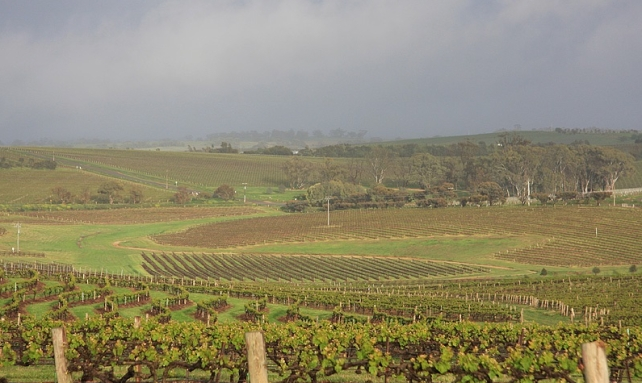 Clare Valley Vines at Taylors Wine. Photo courtesy of Taylors Wines.