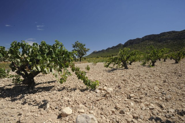 Monastrell vines growing in Jumilla. Photo courtesy of Bodegas Juan Gil.