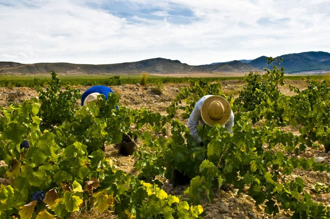 Harvesting Monastrell vines in Jumilla. Photo courtesy of Bodegas Juan Gil.
