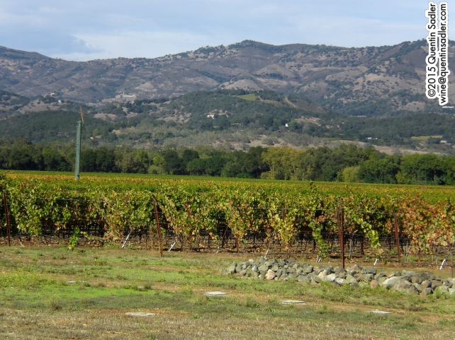 Zinfandel vines in the Napa Valley.