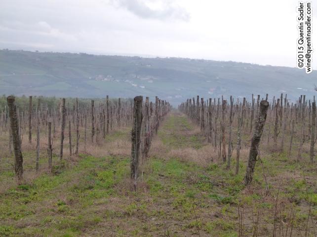 Fattoria La Rivolta vineyards.