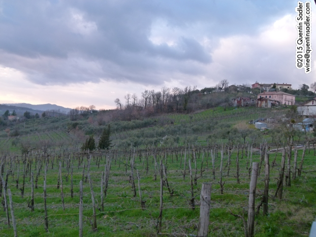 Vines in Taurasi.