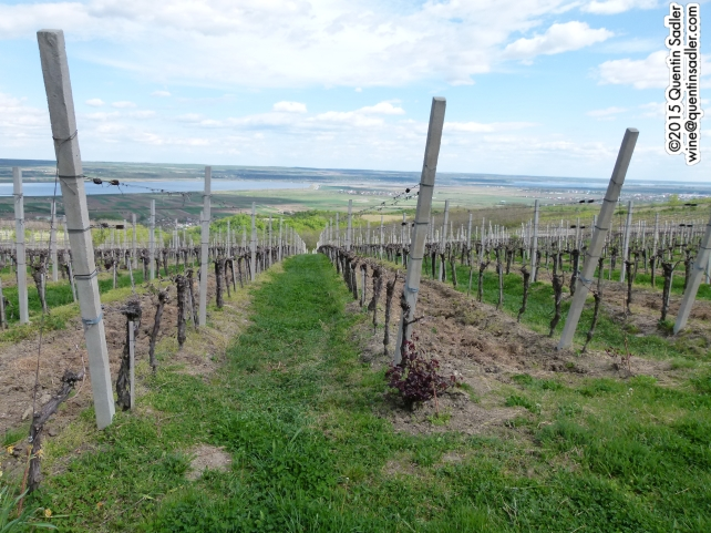Vines at Ştirbey.