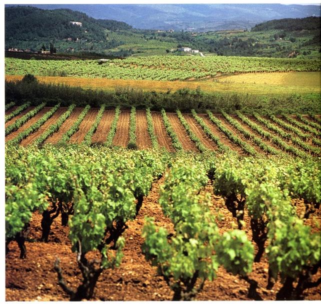 Cava vineyards - photo courtesy the Cava Regulatory Board.