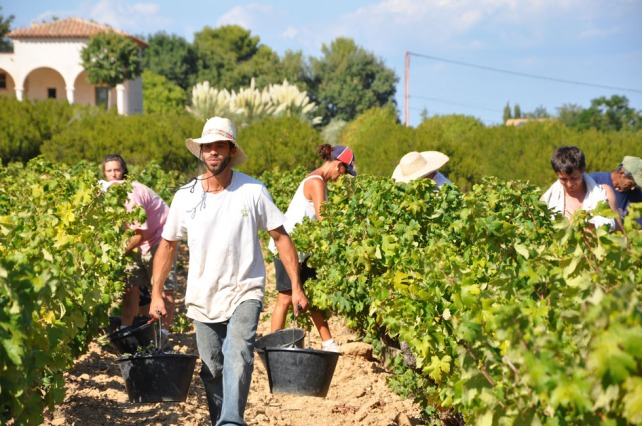 The harvest at Clos Cibonne, everything is done by hand - courtesy of De Maison Selections.