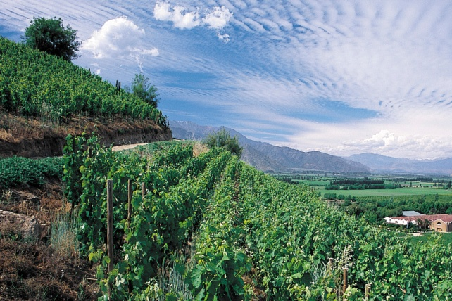 Vines at the Errazuriz Estate in Chile - photo courtesy of the estate.