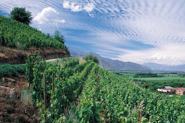 Vines at the Errazuriz Estate in Chile - photo courtesy of the estate.