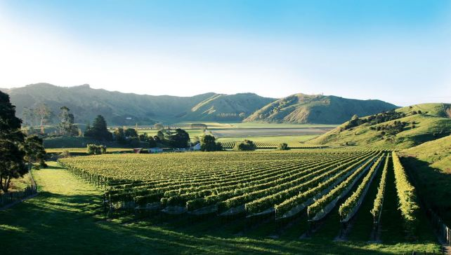 Vineyards in Gisborne - photo courtesy of Villa Maria.