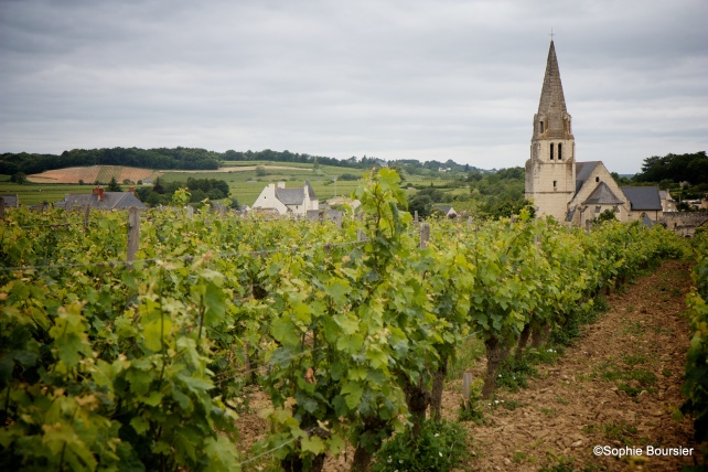 Vines in Saumur, photo courtesy of Bouvet-Ladubay.