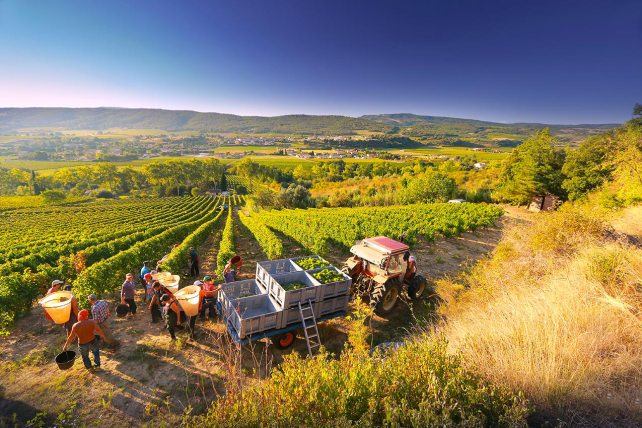 Harvest at Domaine J. Laurens - photo courtesy of the estate.