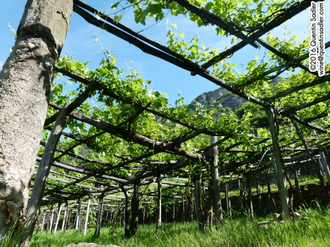 Most of the vineyards in Carema are trained on Pergolas. This keeps the vine away from the damp, humid soil and ensures maximum sun exposure in this difficult landscape. It also allows for the precious land to be used for cultivating other crops or livestock.