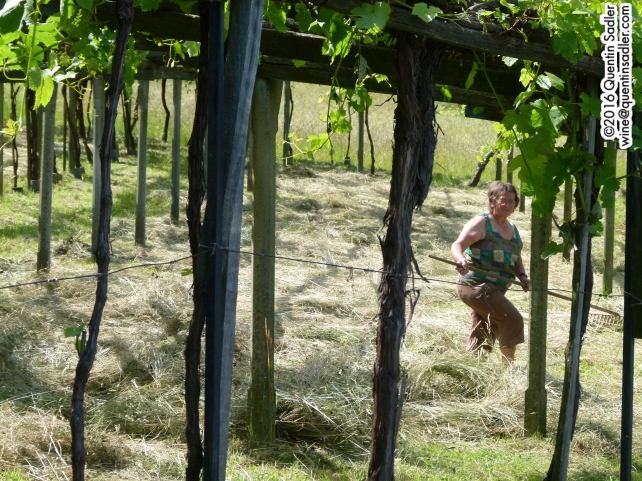 Tending the land under the Pergola in Carema.