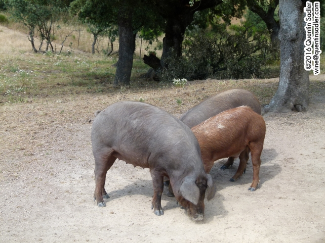 ... and Iberian pigs.