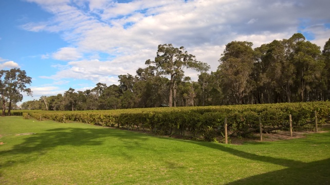 Robert Oatley's beautiful Margaret River vineyards - photo courtesy of the winery.