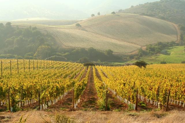 Errazuriz's Manzanar Vineyard in the Aconcagua Costa -photo courtesy of the winey.